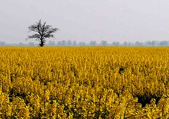 Lonely Tree and Rape Seed (saxonfenken) Tags: trees tree yellow landscape seed rape single superhero thumbsup storybook fens 377 bigmomma gamewinner whittlesey challengeyou challengeyouwinner favescontestwinner a3b thechallengefactory fotocompetition fotocompetitionbronze yourock1stplace cyunanimous herowinner storybookwinner gamex3 pregamesweepwinner gamex3gamex2vsgamex2winners gamex2gamevsgamewinners 377tree