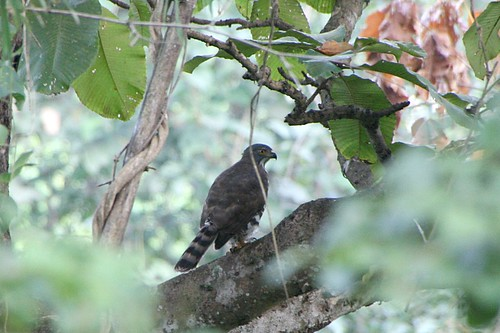 EurasianSparrowHawk