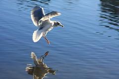 Lafarge Lake (zanliz) Tags: lake canada landscape britishcolumbia coquitlam manmadelake lafargelake