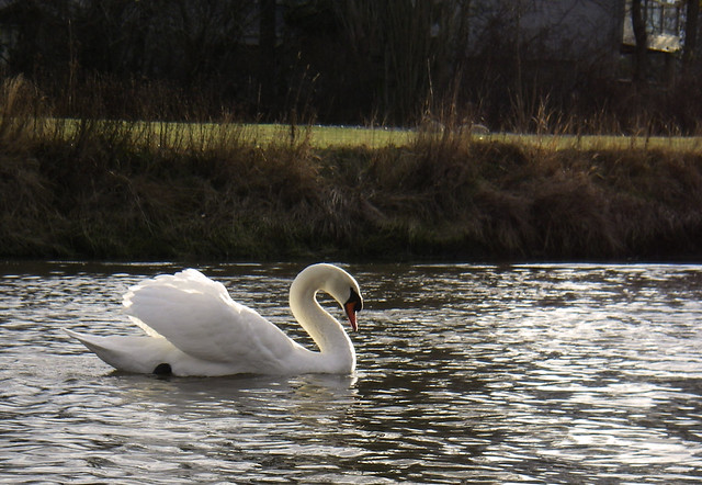 Swan enjoying the morning sun