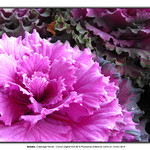 purple cabbage flower thumbnail