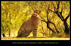 San Diego Wild Animal Park (canon60dslr) Tags: california green nature animals yellow cat zoo sandiego wildlife safari cheetah wildanimalpark safaripark speca
