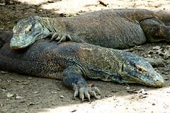 Komod Dragons - Rinca Island