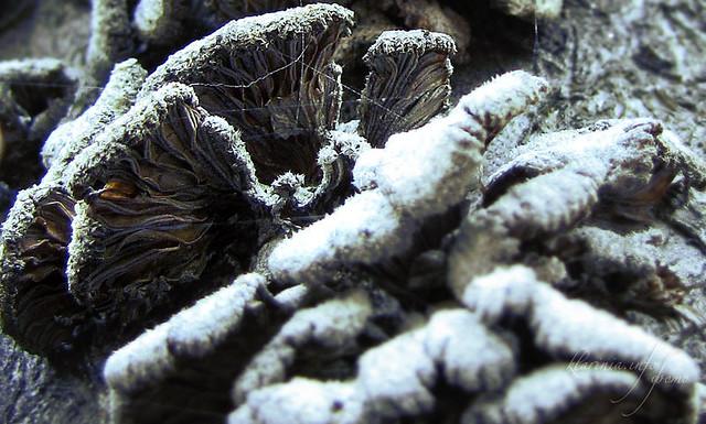 мороз, лед, иней, холод, вода, гриб, листья, кленовые листья, зима