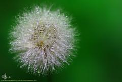..    (mzna al.khaled) Tags: flowers flower macro green colors beautiful canon focus arabia natrue 50d   macrolife waterdropsmacros