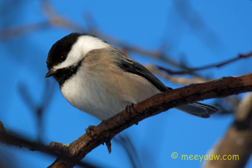 Black-capped chickadee   09.jpg