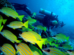 School of Common bluestripe snapper, Maldives