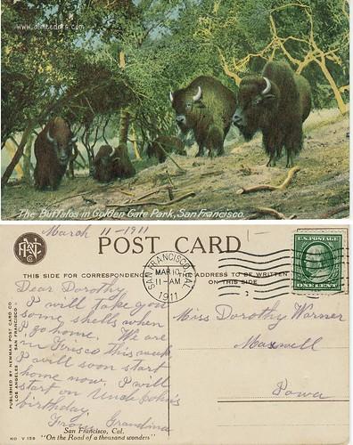 Buffalos - Golden Gate Park