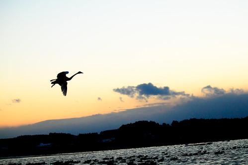 Swan Twilight
