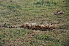 _DSC6246 (petelovespurple) Tags: cats film dogs birds tanzania nikon prints copy arusha antelopes serengetti d90 plp riccoh kr10x