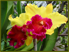 Cattleya hybrid: Blc Ablaze Medal 'U Emperor' at our backyard, November 2007