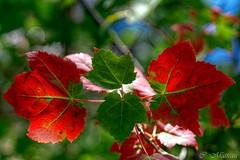 160921-18 Symtrie naturelle (clamato39) Tags: autumn automne basepleinairdestefoy provincedequbec qubec canada feuilles leafs rable maple nature