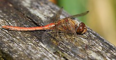 Common Darter - Llanelli WWT Wales -230916 (1) (ailognom2005-Catching up slowly.) Tags: commondarter llanelliwwt naturereserves naturalhistory wildlife dragonflies dragonfliesanddamselflies