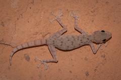 Egyptian gecko on wall background (Oleg.A) Tags: gecko marsaalam egypt kahramanabeachresortmarsaalam redseagovernorate eg