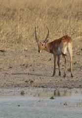 Red lechwe - Kobus leche leche (amitbandekar) Tags: chaminuka zambia africa lechwe kobus leche
