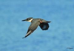 Belted King Fisher in Flight (James Rhymes) Tags: seagulls gulls crows sparrows blackbirds ravens hawks kingfishers fantasticnature beltedkingfishers thewonderfulworldofbirds