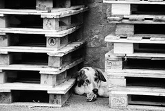 DKH0119_v1.jpg (artzubi) Tags: detail dogs farm report euskalherria basquecountry txakurrak gipuzkoa baserria asteasu erreportajea xehetasuna