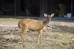 Bambi (Willy_G91) Tags: park travel nature animal thailand nikon asia thalande national thai bambi siam khao daim yai khaoyainationalpark d80