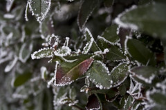 Icing (alexandra.major) Tags: winter snow green ice leaves canon eos frozen leaf bokeh smooth jg h tl fagy 1000d