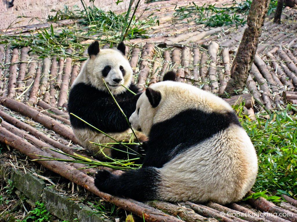 Pair of pandas