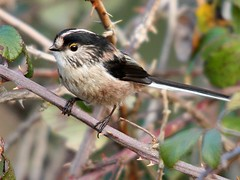 Chapim-rabilongo | Long-tailed Tit (Aegithalos caudatus) (Rosa Gamboias/ on vacation) Tags: naturaleza portugal nature birds fauna wildlife natureza birding natura aves uccelli pjaros arrbida ornithology birdwatching pssaros vogel oiseaux avifauna ambiente longtailedtit aegithaloscaudatus ecologia passeriformes vidaselvagem passerines ornitologia chapimrabilongo rosagambias