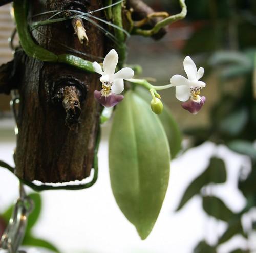 Phalaenopsis parishii plant