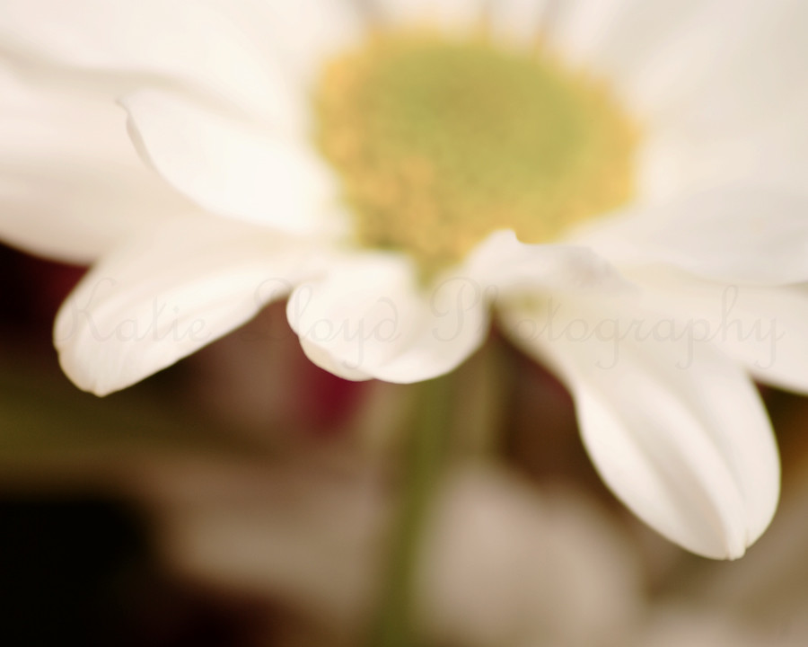 Daisy-out-of-focus---8x10-w