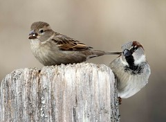 You first (AllHarts) Tags: nature wingtips housesparrows fishisland lakebarkleylodge naturallywonderful naturespotofgoldlevel2 naturespotofgoldlevel1 naturespotofgoldlevel3 showroomofexcellentshots