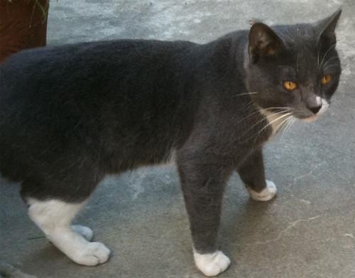 Found cat Venice Beach
