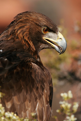 Golden Eagle-4.jpg