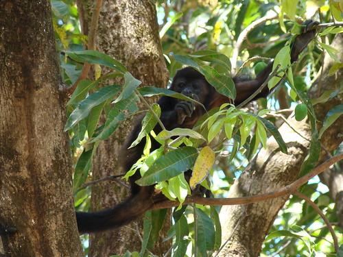 El Viejo Wetlands-Mono aullador (Alowatta palliata)