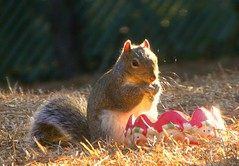 Call Me Mr Whiskers (ChicaD58) Tags: winter sunlight nature garden outdoors evening rodent corn backyard squirrel eating critter whiskers hungry picnik snacking magicofnature photosandcalendar thesuperbmasterpiece natureselegantshots panoramafotogrfico thebestofmimamorsgroups platinumpeaceaward theoriginalgoldseal goodiebowl bestmagicofnature artistoftheyearlevel4