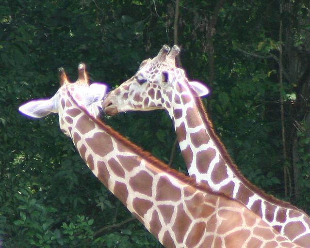 2 Giraffes by VC3 Employee Photos