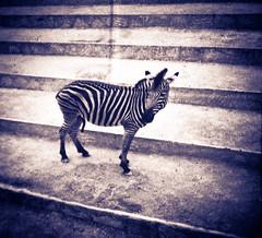 Zebra (nixter) Tags: film delete10 canon delete9 delete5 delete2 delete6 delete7 save3 slide delete8 delete3 delete delete4 save save2 7d zebra deletedbydeletemeuncensored