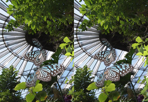 Ideopsis similis, stereo parallel view