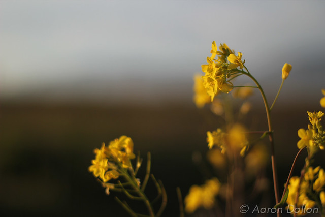 Dark Mustard Flowers