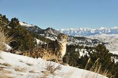 Snow Leopard (Ami 211) Tags: bigcats snowleopard unciauncia felidae pantherinae uncia snowleopardinsnow