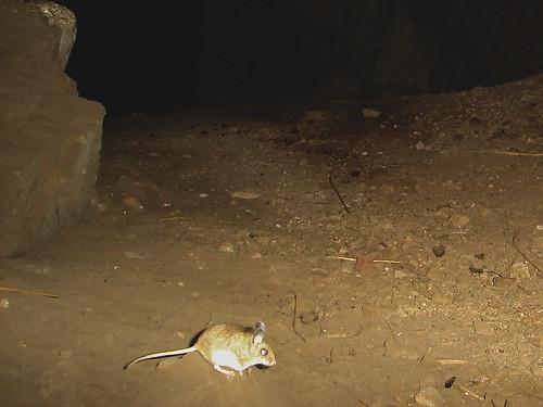 pinyon mouse?