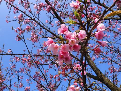 粉色櫻花綻放中