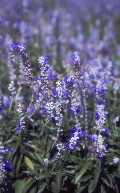 白と紫の花のフリー写真素材