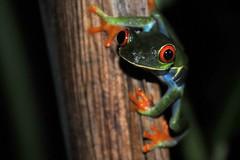 Tree Frog (Chuck Jensen) Tags: costa tour rica chuck caravan tours eduardo jensen tortuguero edwardo