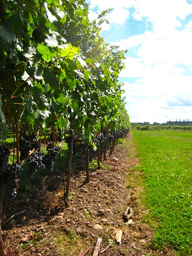 a line of vines