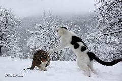 Grrrrrr!!!! I'm a Siberian Tiger!!!!!!!! (Xena*best friend*) Tags: wood winter wild italy pet cats pets snow cold animals fur frozen chats jumping furry woods feline tiger freezing kitty kittens whiskers piemonte gato purr paws gatto siberiantiger katzen feral monicabellucci wildanimals richardgere playinthesnow ©allrightsreserved alleycatallies piedmontitaly canoneos500d catsjump eosrebelt1i friendsofzeusphoebe havinffuningthesnow