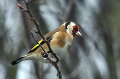 11 Feb. Goldfinch (arthurpolly) Tags: uk wild male bird nature beautiful birds animals closeup canon eos countryside woods group vivid finch 100 lovely visualart avian comment northwales topshot blueribbonwinner 50d supershot 5photosaday passionphotography specanimal abigfave platinumphoto anawesomeshot avianexcellence diamondclassphotographer flickrdiamond citrit theunforgettablepictures brillianteyejewel unforgettablepictures betterthangood goldstaraward goldstarawardgoldmedalwinner 5phtosaday flickrlovers 5halloffame 100commentgroup dragondaggerphoto dragondaggeraward dragondaggerawards flickrclassique thebestofmimamorsgroups dragonsdanger atomicaward coth5 birdperfect