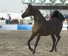 Arabian Show Feb 2011 (frenzyyyy1) Tags: horse kuwait arabian arabianhorse          caballosrabes arabischepaarden cavalliarabi   kuwaitarabianhorsenationalchampionshipshow arabianhesta arabischepferde arabiskahstar   arapatlar ceffylauarabaidd  araberheste  kuwaitarabianhorsesnational