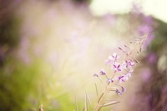 (cord1964) Tags: summer plant flower nature field germany 50mm bokeh f14 sommer natur feld blumen bloom luebeck 2010 travemuende shallowdof norddeutschland explored brodnerufer fastverblueht