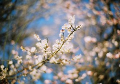 (Hiromasa) Tags: leica flower film japan analog zeiss 35mm 50mm iso100 tokyo blossom kodak cosina plum rangefinder f10   noctilux ume  komazawaolympicpark ektar   zeissikonzm