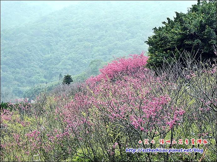 48 林間的美麗櫻花