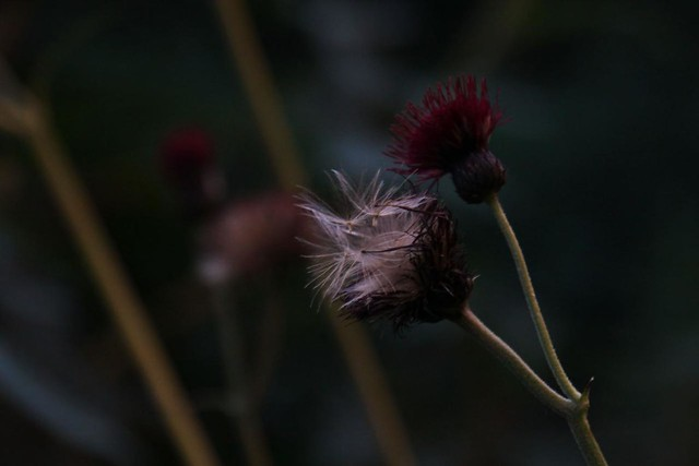 burgundy cornflower