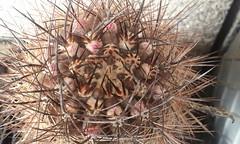 Eriosyce subgibbbosa 'microsperma' (bramwellii) Tags: eriosyce subgibbosa microsperma jardindecactusdetoledo colprivfelixloarte